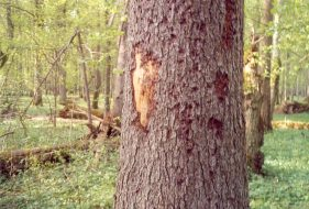 Bark Beetle Damage