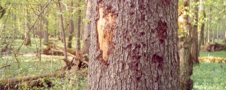 Bark Beetles Killing Trees
